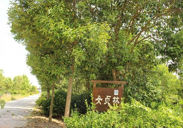 龙湖公园新栽6株大叶女贞树温暖过冬